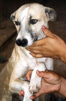 Perro con dos narices Xingu