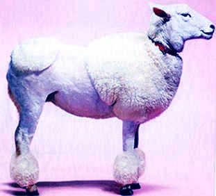 poodle-sheep