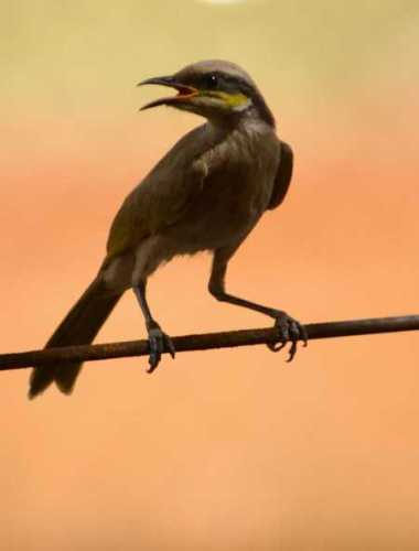 singing-honeyeater.jpg