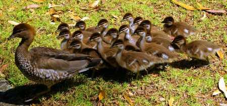 duckflock.jpg