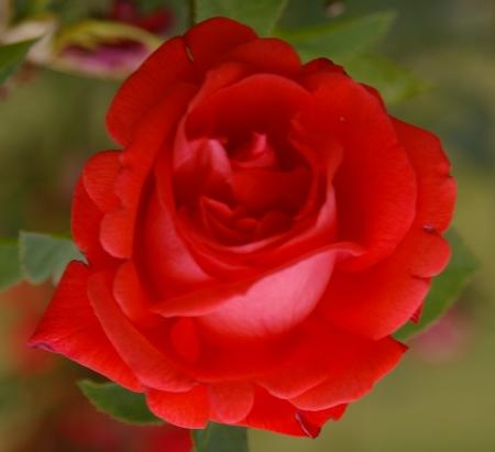 lipstick-rose.jpg