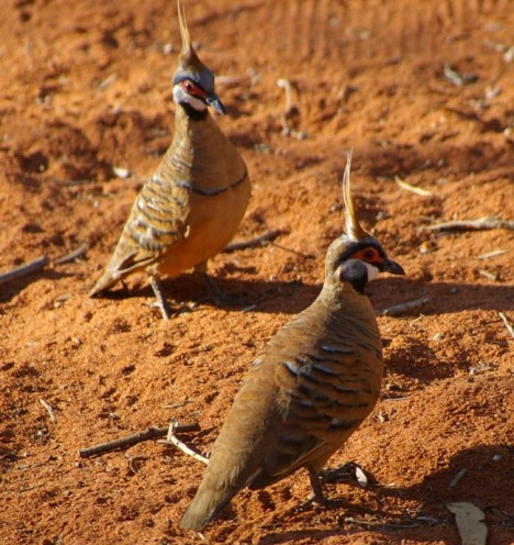 spinifex-pigeon2