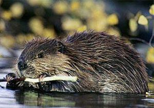 beaver_320