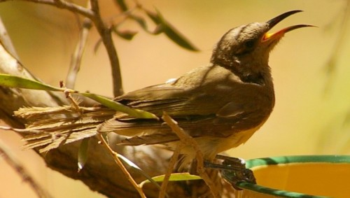 brown-honeyeater21