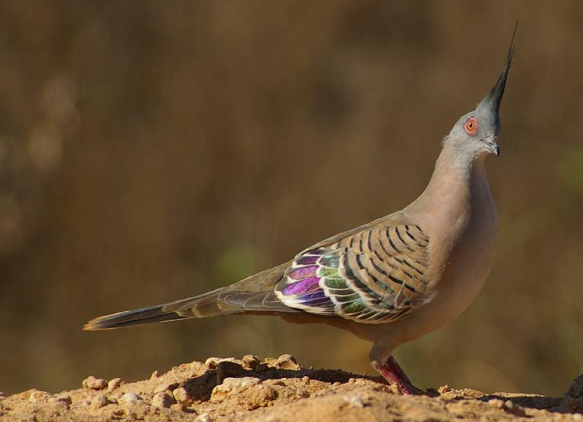 Crested Pigeon | Ærchies Archive - Digital Detritus